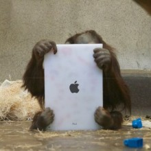 *Photo has been modified. The orangutans are not yet holding the iPads due to safety concerns.  Photo © Scott Engel. Please contact us if you wish to use the image.