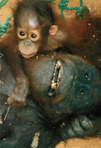 Orangutan Crisis Orangutan Outreach