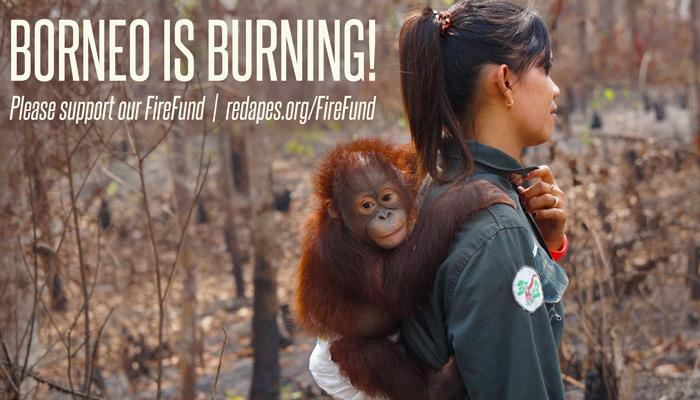 Emergency Fire Fund Borneo Is Burning Orangutan Outreach