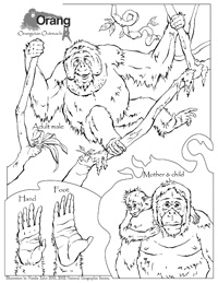 Orangutans coloring page for kids, animal coloring pages ... | 259x200
