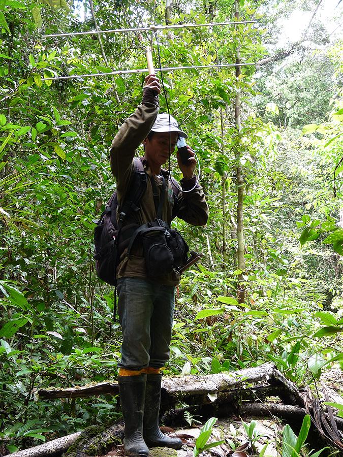 bos  radio-tracking released orangutans