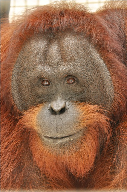 Meet The New Bos Nyaru Menteng Orangutan Release