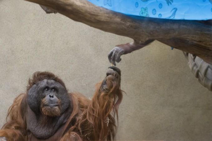 Sistine Chapel: Tommy & MJ from Milwaukee County Zoo © Scott Engel