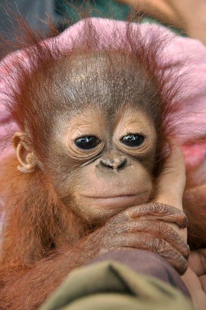 Sura, a beautiful orangutan baby boy.