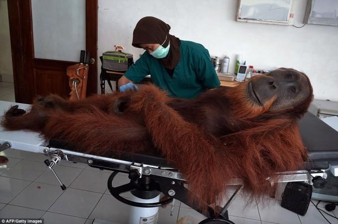 Angelo the Orangutan