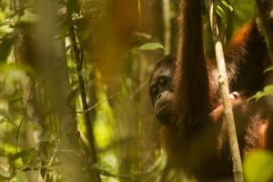 6971, orangutan (Feb and Fio), sabangau