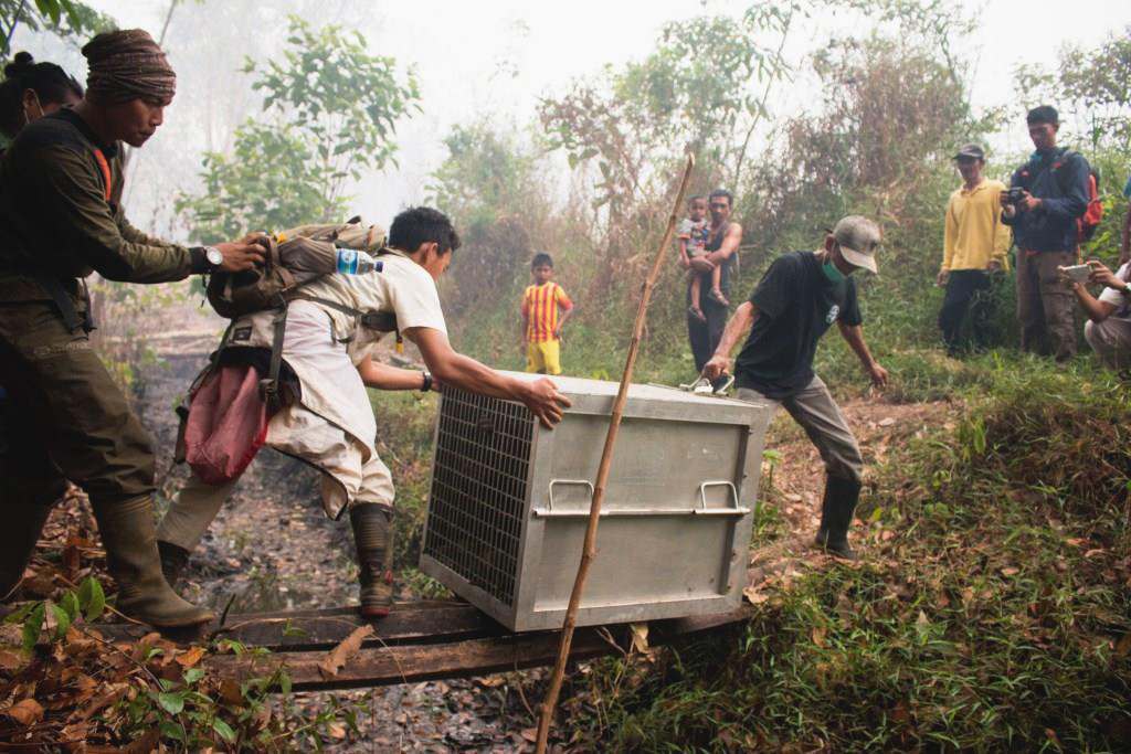 The IAR team has been rescuing orangutans from forests that are burning. Image © IAR