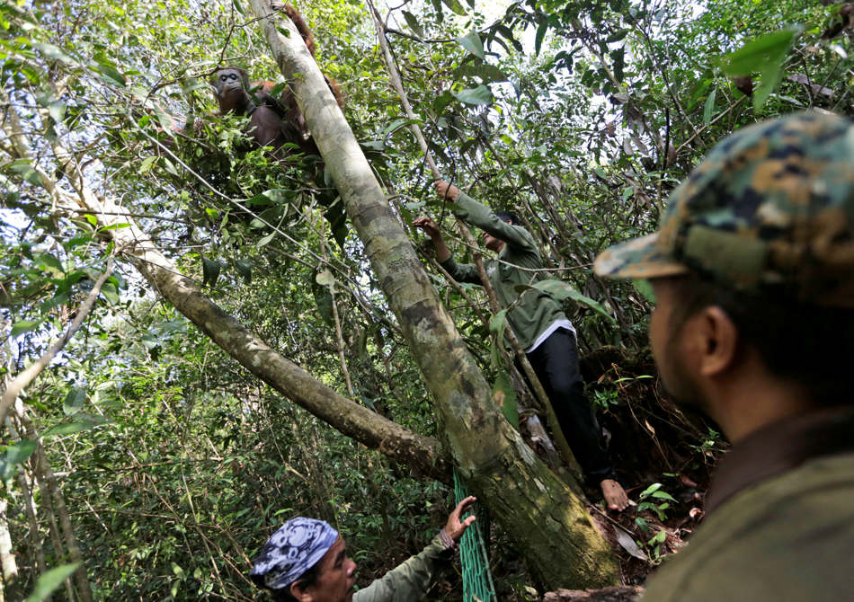 In this Jan. 5, 2016, photo, conservationists of Borneo Orangutan Survival Foundation approach a tranquilized orangutan as they conduct a rescue and release operation for orangutans trapped in a swath of jungle in Sungai Mangkutub, Central Kalimantan, Indonesia. A team of foresters, veterinarians and technicians were deployed to rescue orangutans which lost their habitat to the forest fires last year and relocate them to a new location. (AP Photo/Dita Alangkara)