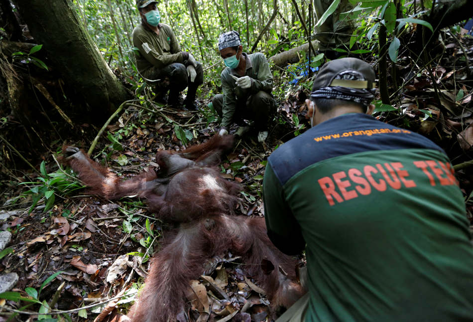 In this Jan. 5, 2016, photo, conservationists from the Borneo Orangutan Survival Foundation examine a tranquilized orangutan during a rescue and release operation for orangutans trapped in a swath of jungle in Sungai Mangkutub, Central Kalimantan, Indonesia. The orangutans, which lost their habitat to the forest fires last year, were forced to live in the over-populated peatland forest along the river, raising fears that they would run out of food soon. (AP Photo/Dita Alangkara)