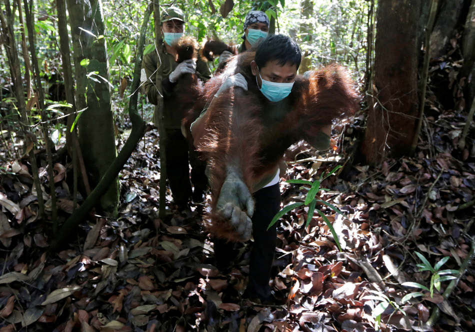 In this Jan. 5, 2016, photo, conservationists of Borneo Orangutan Survival Foundation examine a tranquilized orangutan as they conduct a rescue and release operation for orangutans trapped in a swath of jungle in Sungai Mangkutub, Central Kalimantan, Indonesia. A team of conservationists were deployed to rescue orangutans which lost their habitat to the forest fires last year and relocate them to a new location. (AP Photo/Dita Alangkara)