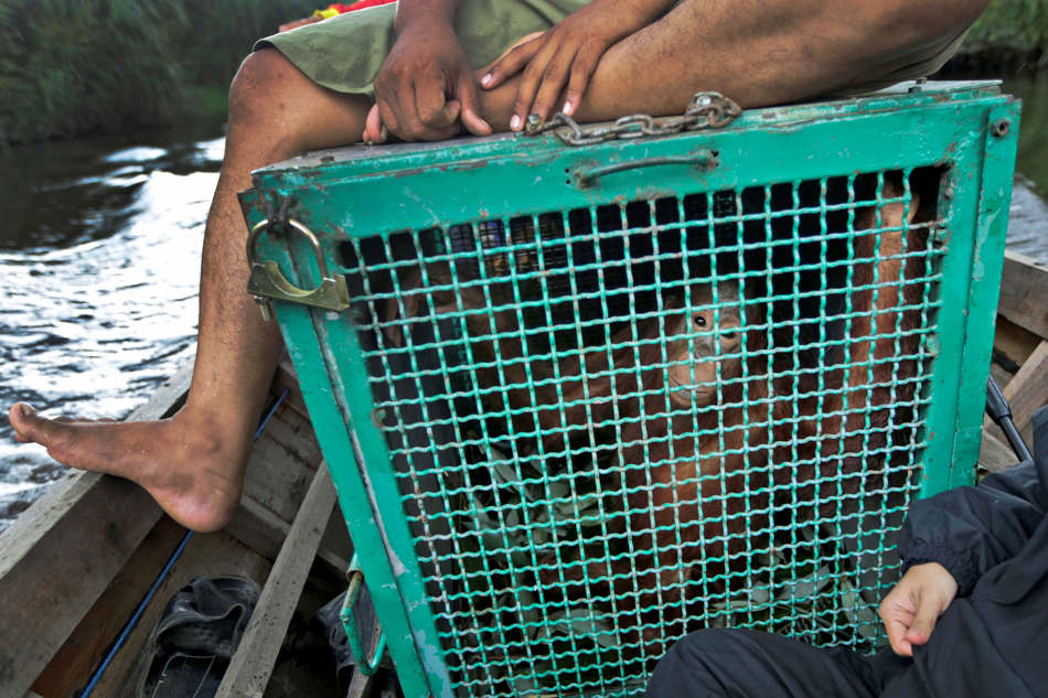 In this Jan. 6, 2016, photo, conservationists from the Borneo Orangutan Survival Foundation transport a young orangutan to a release site during a rescue and release operation for orangutans trapped in a swath of jungle in Sungai Mantangai, Central Kalimantan, Indonesia. A team of foresters, veterinarians and technicians were deployed to rescue orangutans which lost their habitat to the forest fires last year and relocate them to a new location. (AP Photo/Dita Alangkara)
