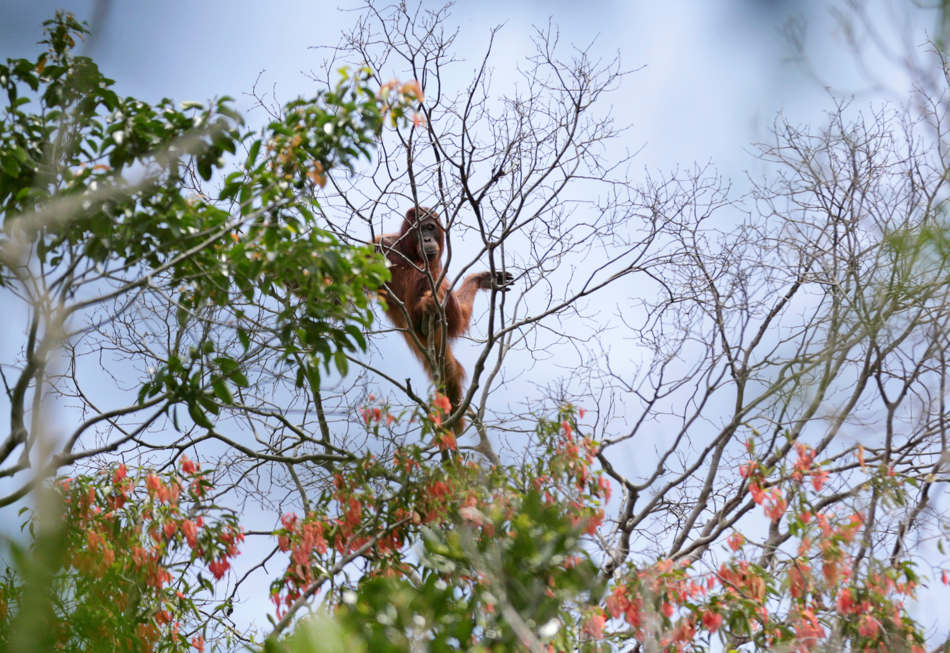 In this Jan. 7, 2016, photo, a wild orangutan is spotted in a tree during a rescue and release operation for orangutans trapped in a swath of jungle in Sungai Mangkutub, Central Kalimantan, Indonesia. Last year's forest fires drove orangutans closer to the river bank, where they had to live in an over-populated swath of forest as thin as 30 meters wide along the river. (AP Photo/Dita Alangkara)