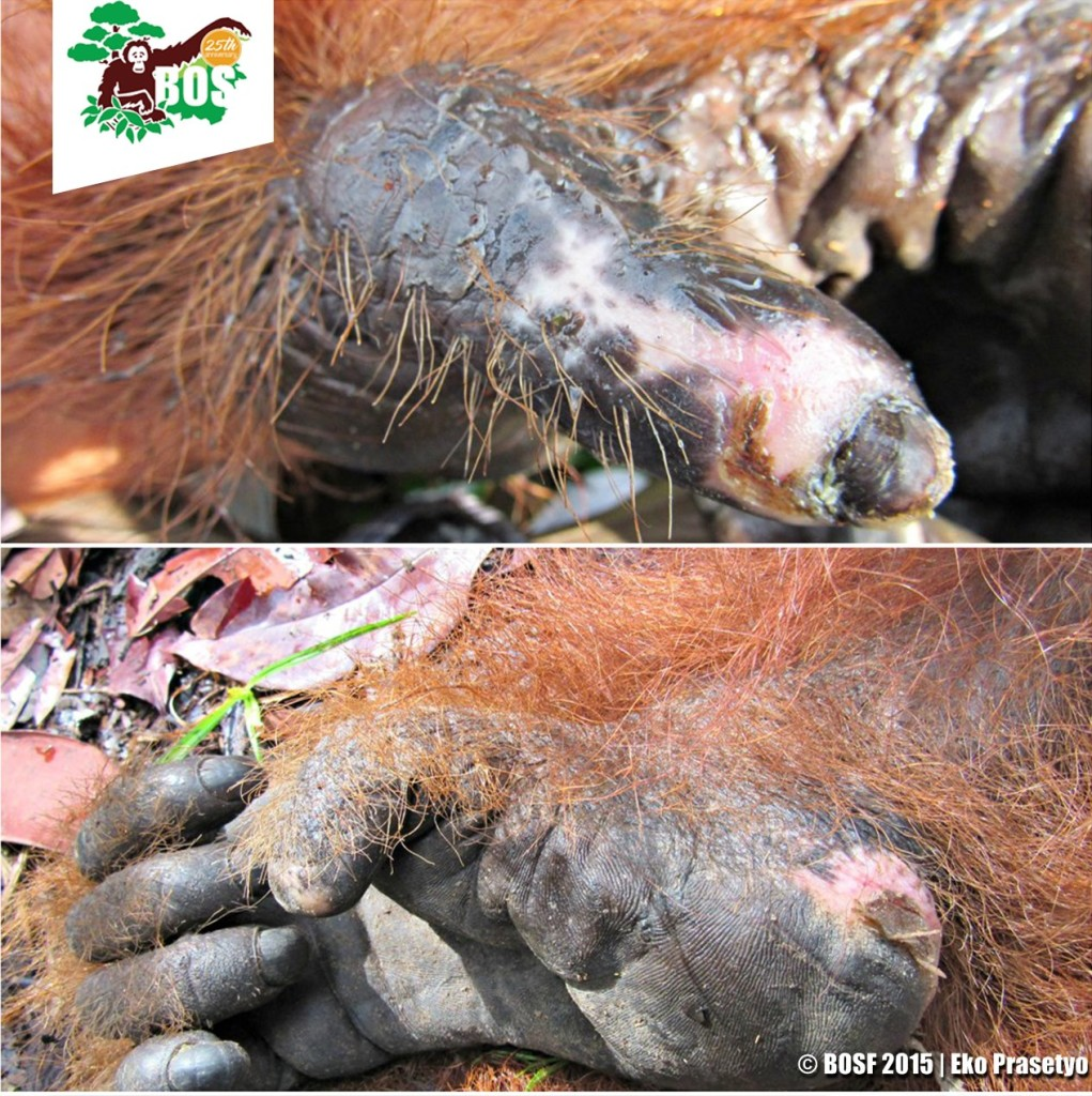 Burn marks on orangutans were mostly to their feet and hands.