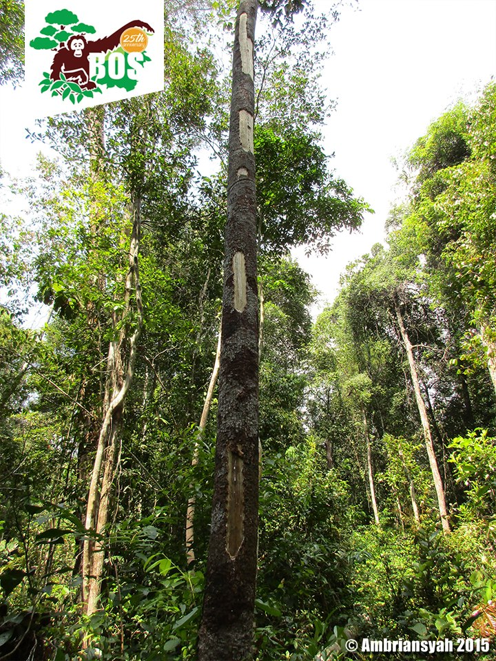 Pantung tree